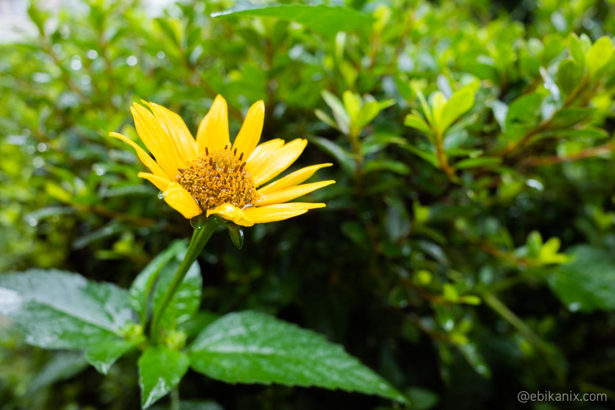 雨きたー!って咲く花