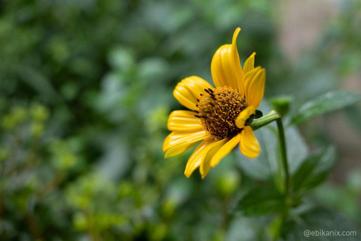 茎が折れても折れない花の気持ち
