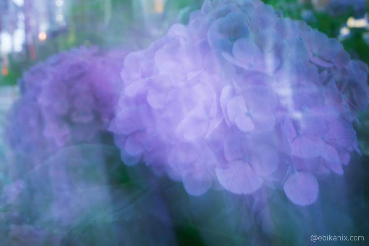 ぶれる紫陽花