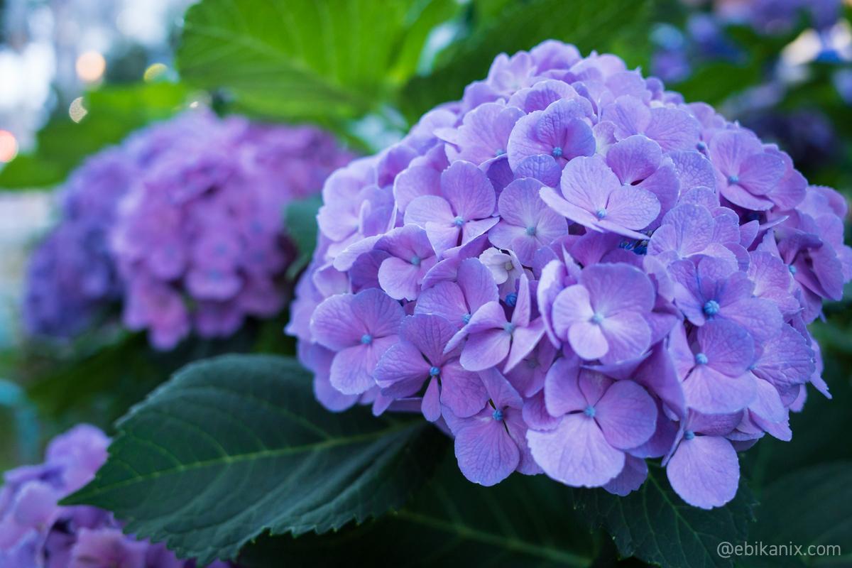 19時の紫陽花