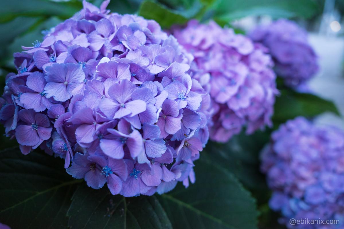 紫陽花の小さな花がかわいい