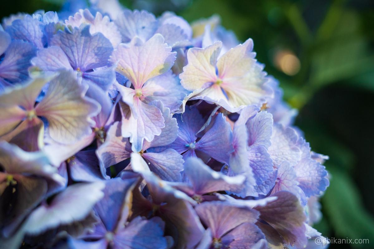 紫陽花のアップ