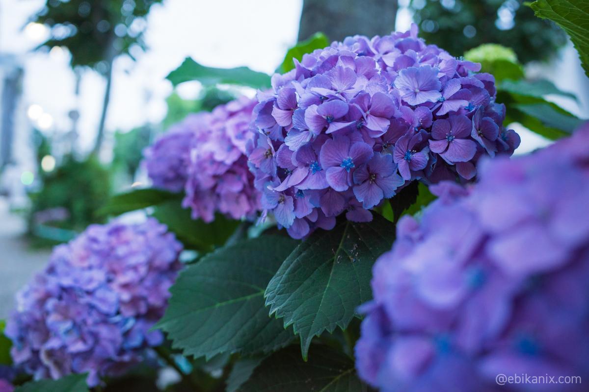 紫陽花の小さな花が咲いてる