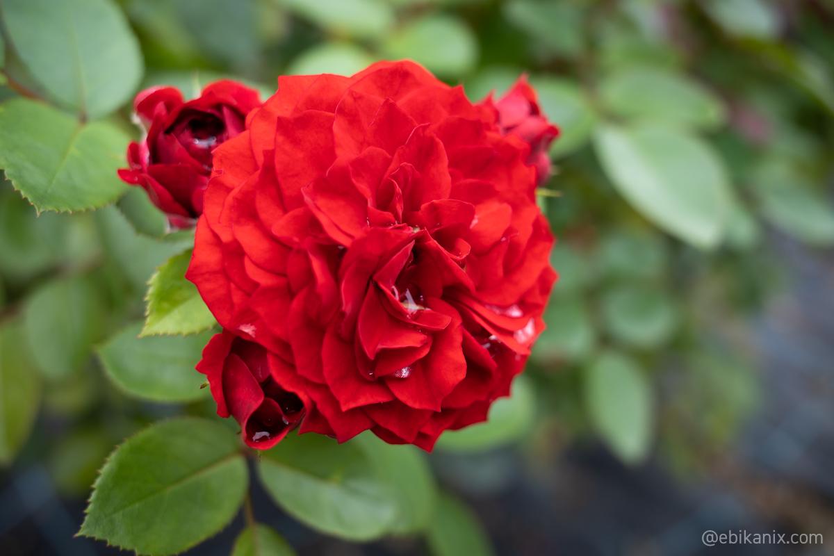 花びらが細かいバラ