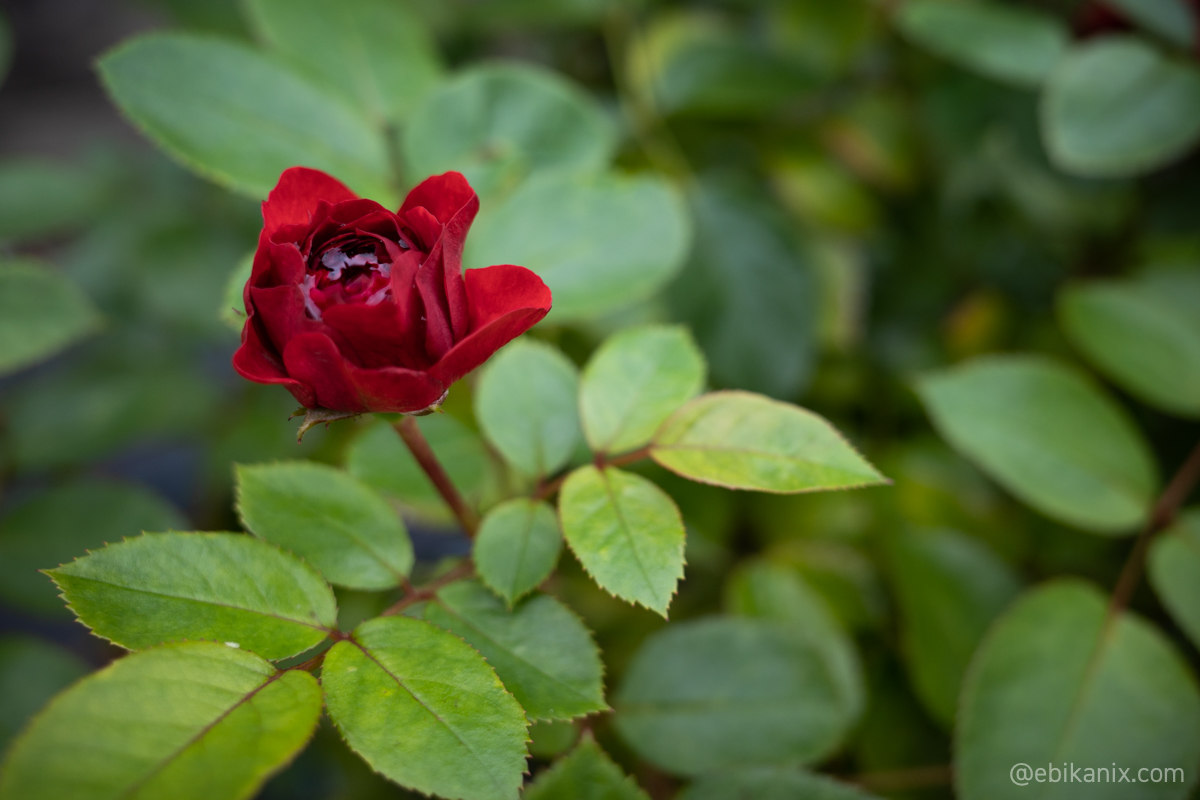 つぼみっぽいバラ