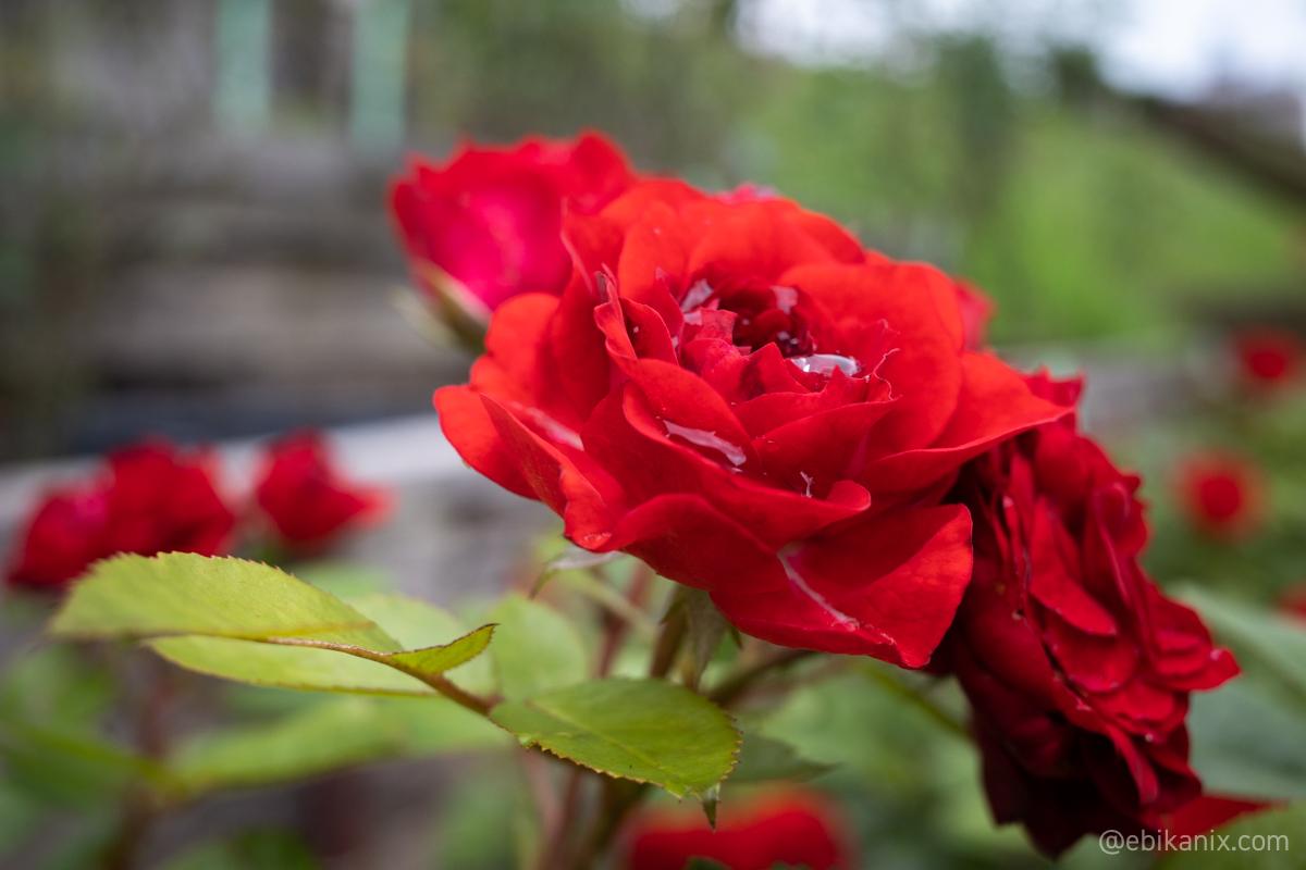 雨水を貯めるバラ