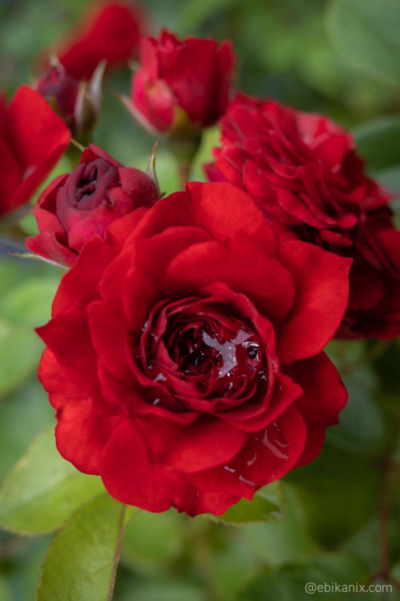 真上からのバラ