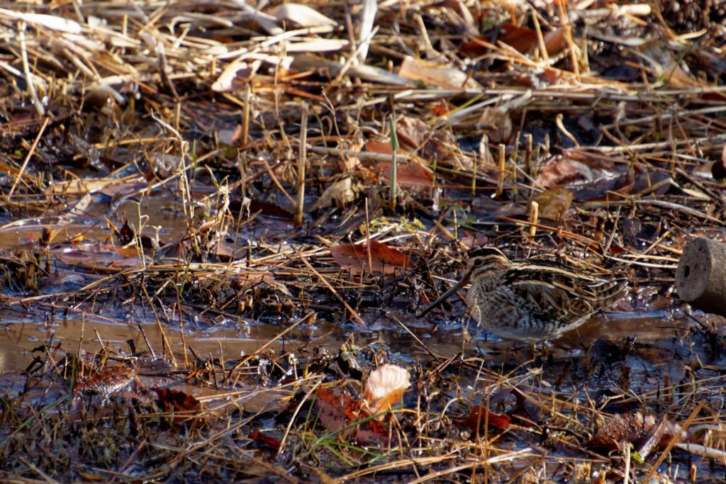 溝で採餌するタシギ