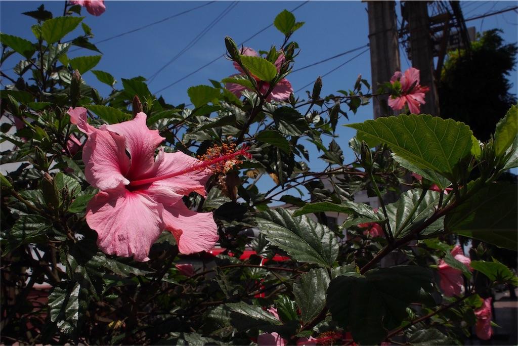 ハイビスカスも綺麗なピンク色