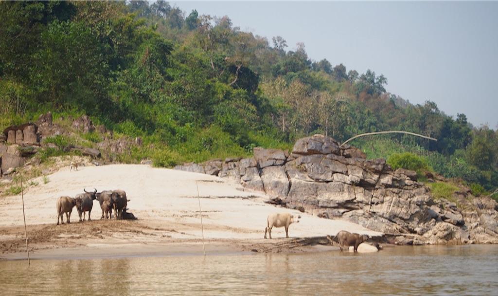 メコン川沿いには水牛がたくさん