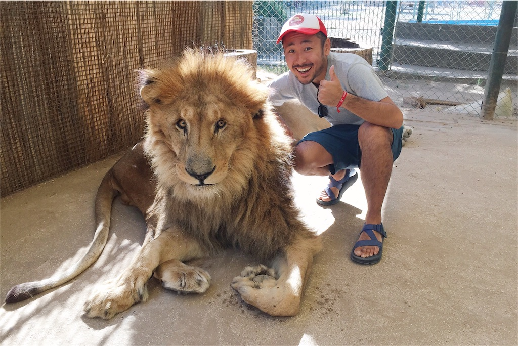 ライオンは間近で見ると大きーい!!