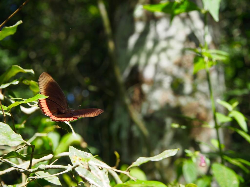 イグアス国立公園内の蝶々
