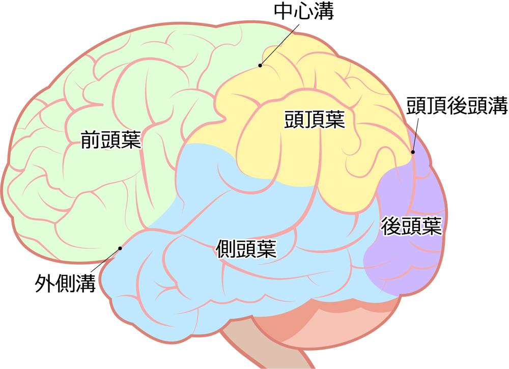子どもの脳はどう育つ 脳について知る1 Educediaエデュケ