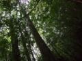 201408_屋久島木々を見上げる