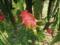 201408_屋久島リサーチパークのドラゴンフルーツ