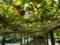 201408_屋久島リサーチパークのパッションフルーツ