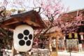 京都新聞写真コンテスト 天満宮に咲く梅