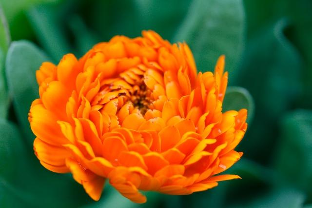 おれんじ色の花