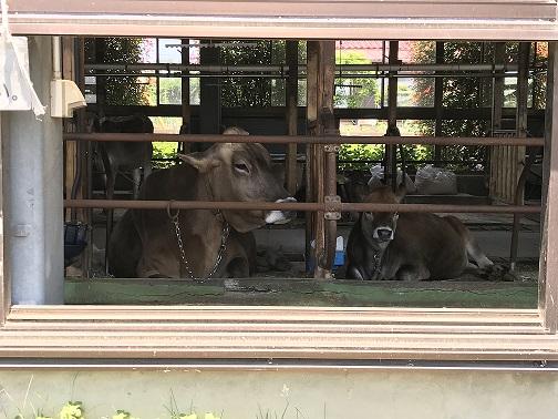 飯田牧場の牛