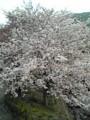 2011/04/09    毎年 恒例の桜の木(いつもより近くで)