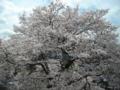 二俣尾の駅前桜