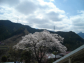 沢井駅前の桜