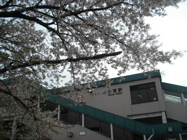 小宮駅東口の桜