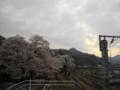 猿橋駅南口(大月方面)の桜