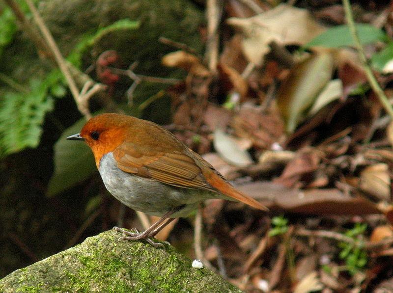 コマドリ(駒鳥, Robin, Erithacus akahige)