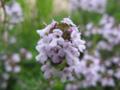 コモン・タイム(立麝香草, Common thyme, Thymus vulgaris)