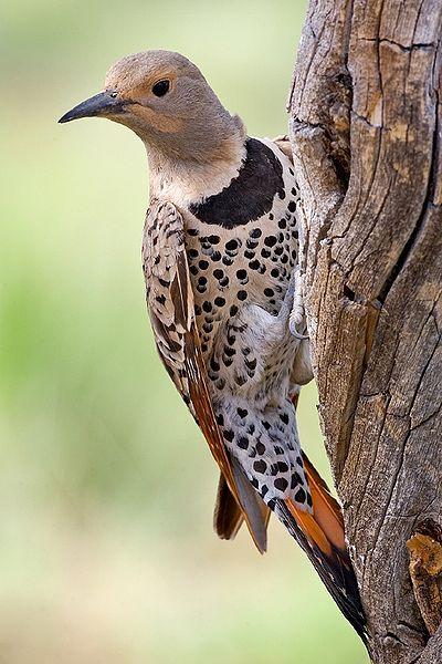 ハシボソキツツキ(Northern Flicker, Colaptes auratus)