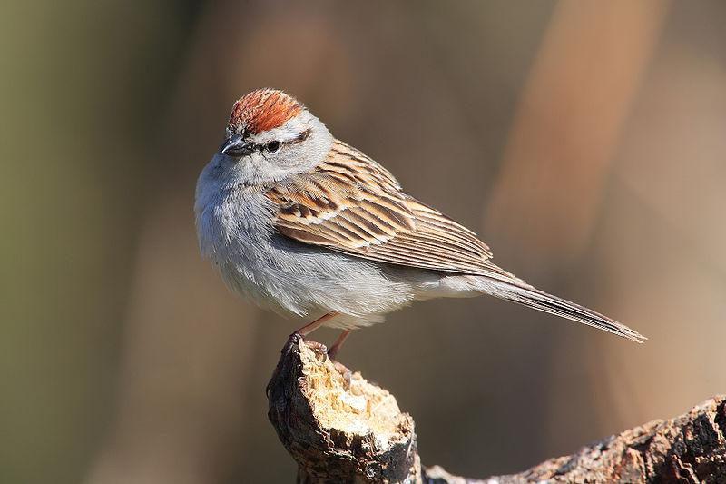 チャガシラヒメドリ(Chipping Sparrow, Spizella passerina)