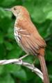 チャイロツグミモドキ(Brown Thrasher, Toxostoma rufum)