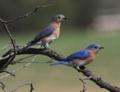 ルリツグミ、ブルーバード(Eastern Bluebird, Sialia sialis)