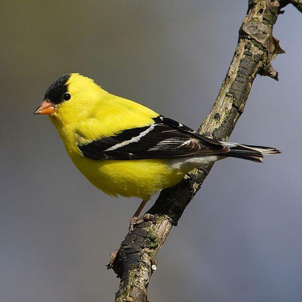 オウゴンヒワ(黄金鶸, American Goldfinch, Carduelis tristis)