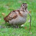 ヤマシギ(山鷸, Eurasian Woodcock, Scolopax rusticola)
