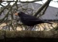 クロウタドリ(黒歌鳥, Blackbird, Turdus merula)