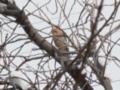 カケス(橿鳥/懸巣/鵥, Eurasian jay, Garrulus glandarius)