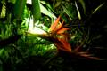 ゴクラクチョウカ(極楽鳥花, Bird of paradise, Strelitzia reginae)