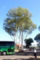 オオバユーカリ(大葉ユーカリ, Swamp mahogany, Eucalyptus robusta)か