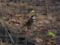 ツグミ(鶇, Dusky thrush, Turdus naumanni)