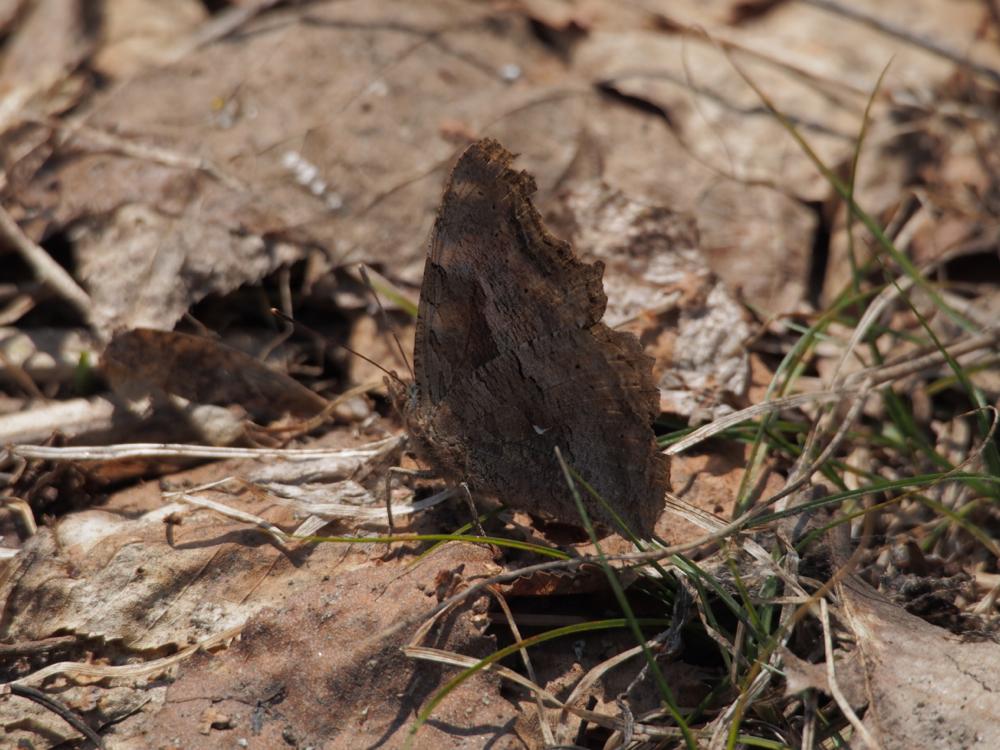 ヒオドシチョウ(緋縅蝶, Scarce tortoiseshell, Nymphalis xanthomelas)