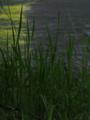 アシ/ヨシ(葦/芦/蘆/葭, Common reed, Phragmites australis)