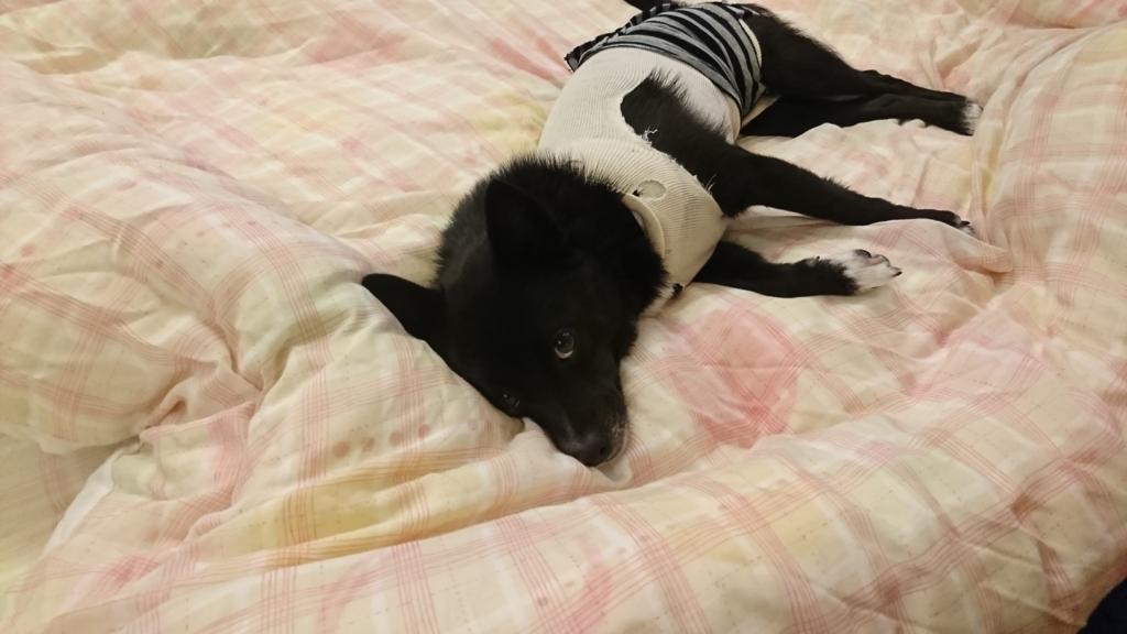 犬避妊手術後散歩