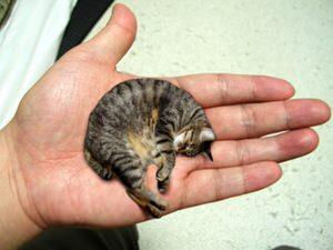 【速報】世界一小さい種類の猫(大人)がこれ BBCが撮影成功 こんなん可愛すぎるだろ  [876811395]YouTube動画>2本 ->画像>46枚