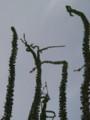 オコティヨ まだ開花には少し早かった