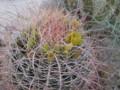 野生のサボテン ボレゴデザートは春に咲くサボテンの花で有名な所