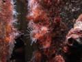 ウスマメホネナシサンゴ