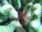 アミメサンゴガニ