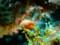 オレンジサメハダウミウシ